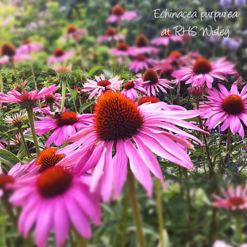 Echinacea-purpurea-Flowerona