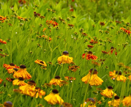 Helenium-at-Orchard-Dene-Nursery-Lisa-Cox