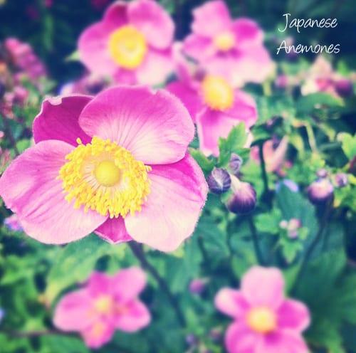 Japanese-Anemones-Flowerona