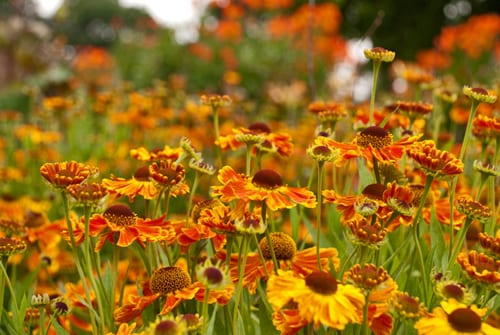 Orange-helenium-at-Savill-Garden-Lisa-Cox
