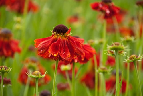 Red-Helenium-at-Orchard-Dene-Nursery-Lisa-Cox