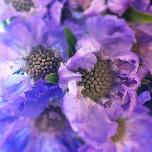 Scabious-Flowerona