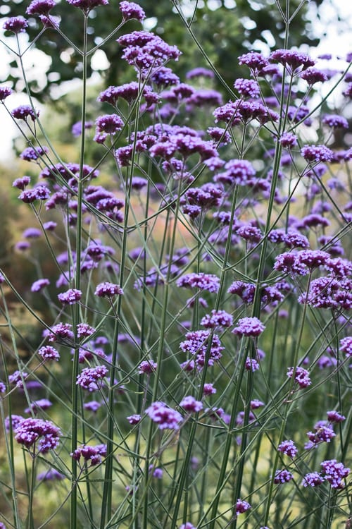 Verbena Bonariensisu2026one Of My Favourite Garden Flowers