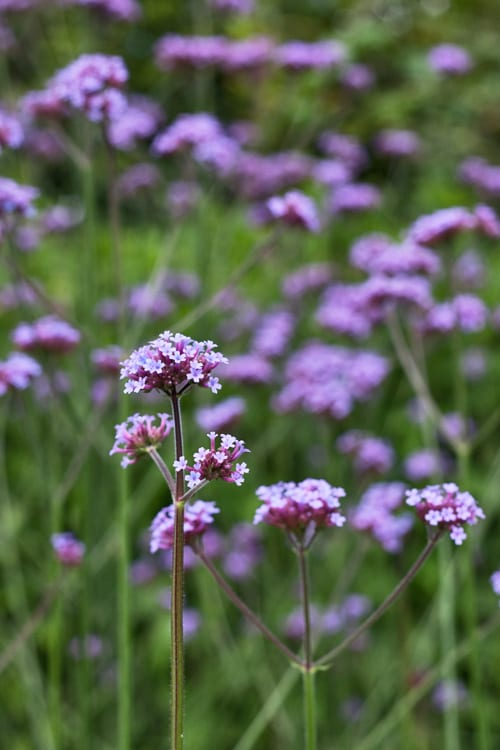 Verbena bonariensis…one of my favourite garden flowers