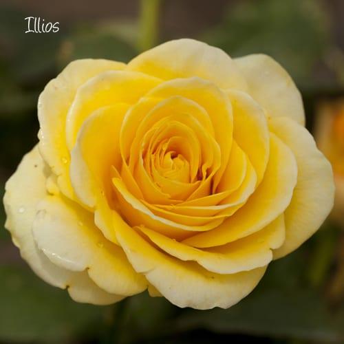 Victory-Rose-Ilios
