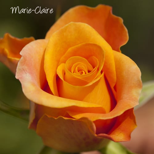 Victory-Rose-Marie-Claire