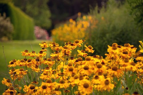 Garden Flowers : Warm & vibrant Heleniums…