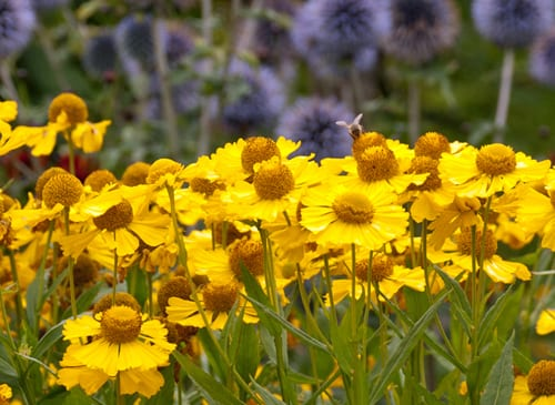 Yellow-helenium-at-Loseley-Park-Lisa-Cox