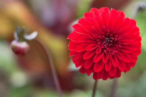 dahlia-rhs-writtle-college-flowerona