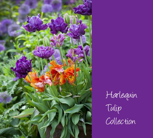 Sarah-Raven-Harlequin-Tulip-Collection
