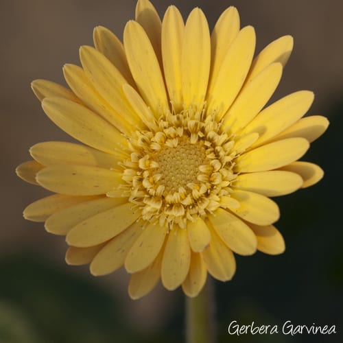 Gerbera-Garvinea-You-Garden