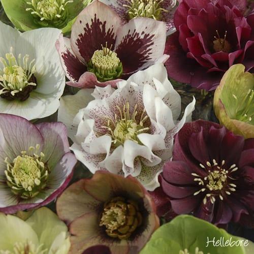 Hellebore-You-Garden
