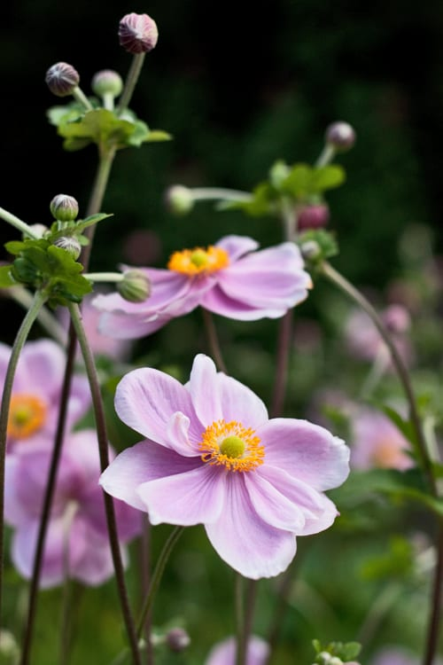 Japanese-Anemone-Flowerona