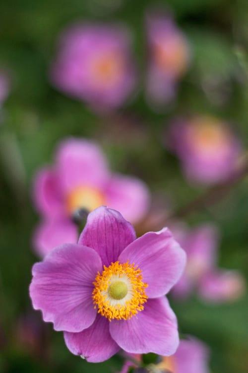 Garden flowers : Dainty Japanese Anemones…