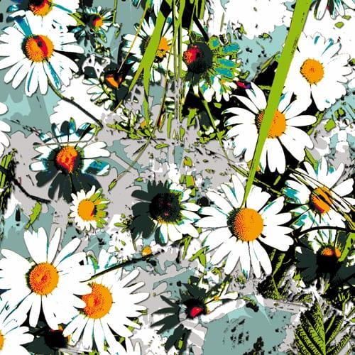'Ox-Eyed Daisy' - Jason D Prints