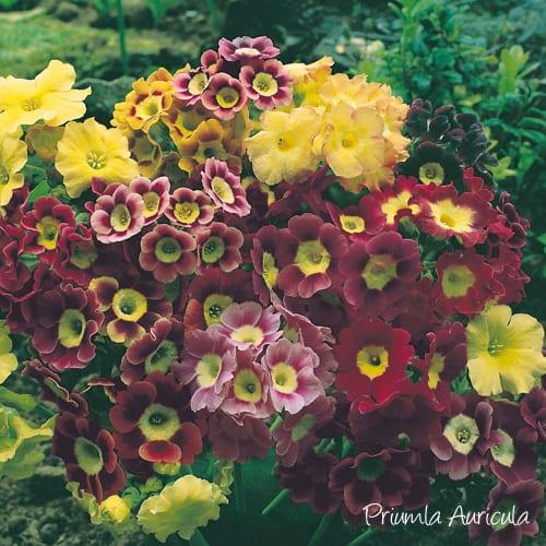 Primula-Auricula-You-Garden