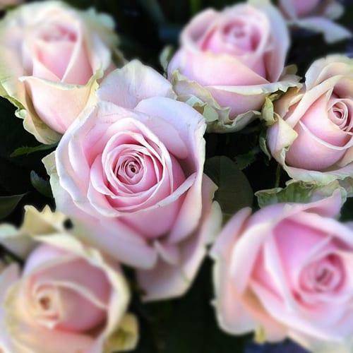 Sweet-Avalanche-Flowerona
