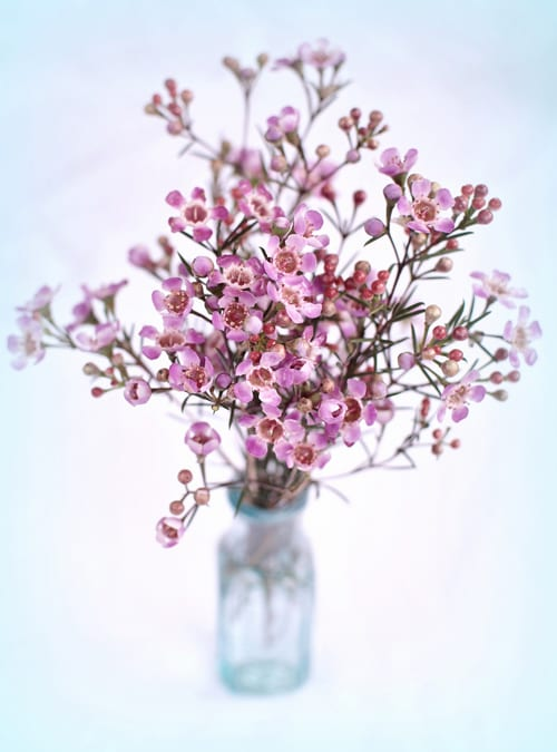 Waxflower Is Back In Fashion Especially For Wedding