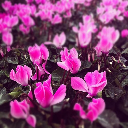 Clifton-Nurseries-Cyclamen-Flowerona