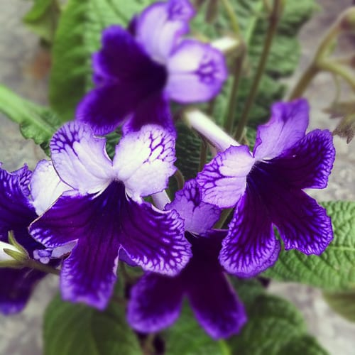 Clifton-Nurseries-Streptocarpus-Flowerona