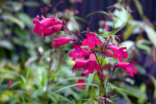 Penstemon-Garnet-Lisa-Cox