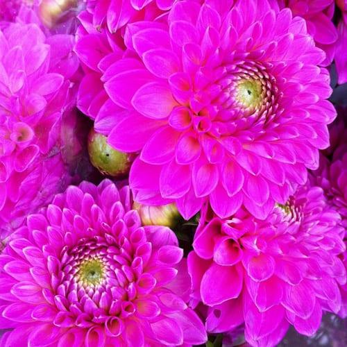 Pink-Dahlias-Flowerona