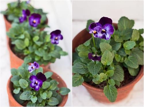 Violas Flowerona