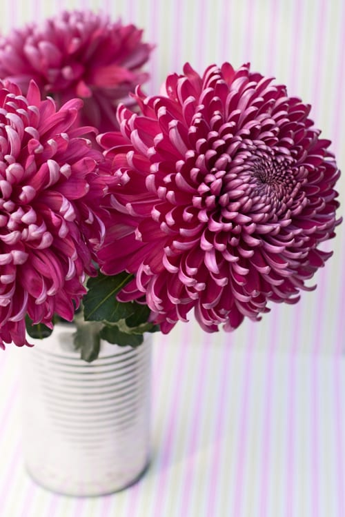 Chrysanthemums-Flowerona