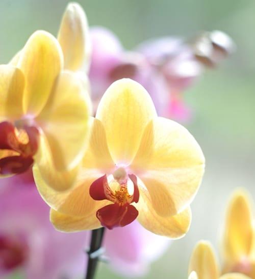 Closeup_Phalaenopsis_yellow-orchid