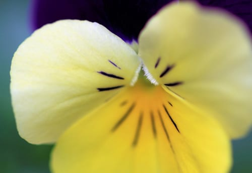 Garden Flowers: Violas…such dainty winter blooms
