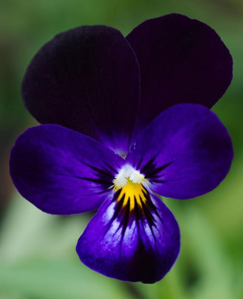 deep purple viola flickr labradorears - Common Purple Garden Flowers