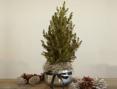 Jane-Packer-Delivered-Mini-Christmas-Pine-Tree