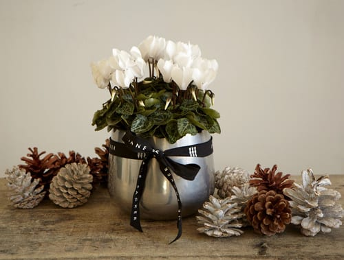 Jane-Packer-Delivered-Planted_cyclamen_plant