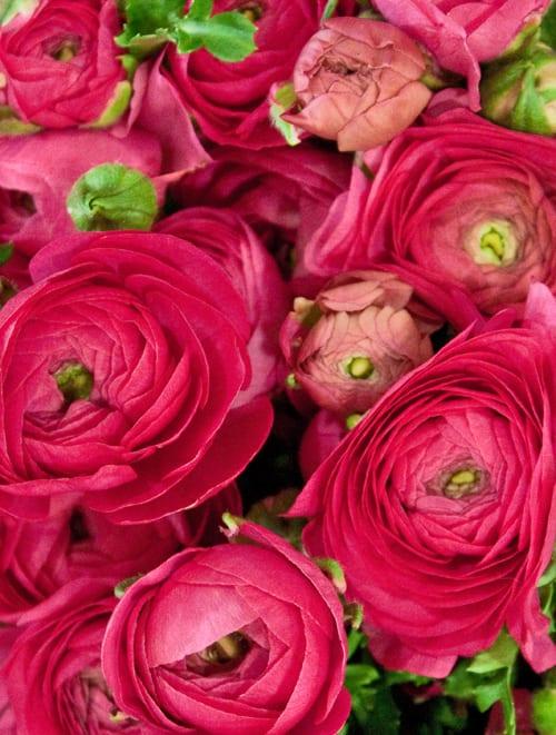 Ranunculus-Bloomfield-Flowerona