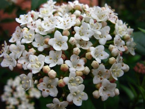 viburnum-tinus-flickr-rafael-valls