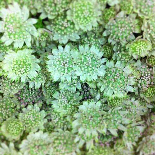 Astrantia-Flowerona
