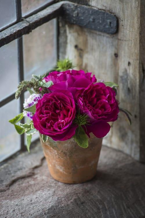 Kate-in-flowerpot-David-Austin-Roses