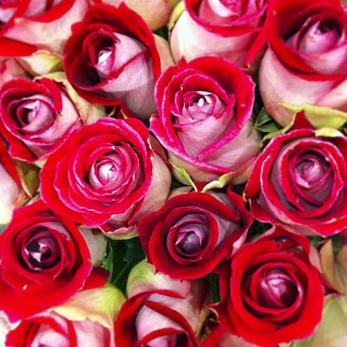 Luxor-Roses-Flowerona