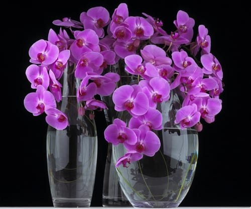 Mary-Jane-Vaughan-group-vases-with-pink-phalaenopsis