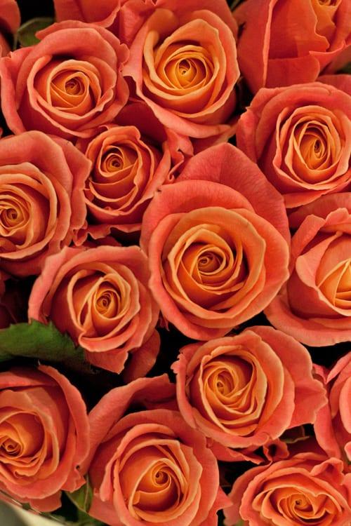 Roses-Bloomfield-Flowerona