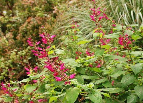 Salvia-involucrata-at-Wisley-garden-Lisa-Cox