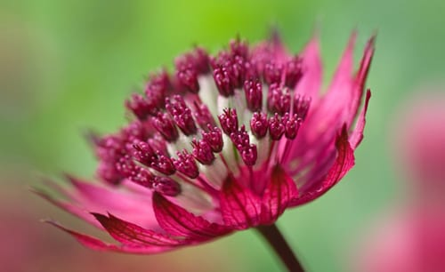 Sue-Bishop-astrantia