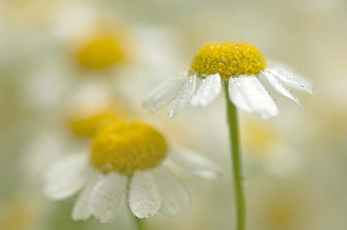 Sue-Bishop-chamomile