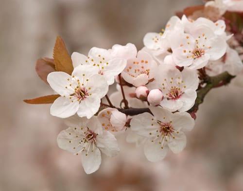 Sue-Bishop-cherry-plum