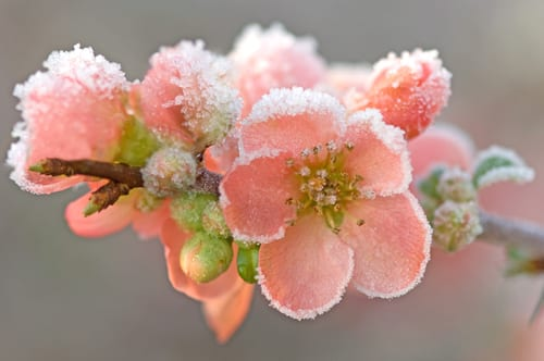 Sue-Bishop-japonica-with-frost