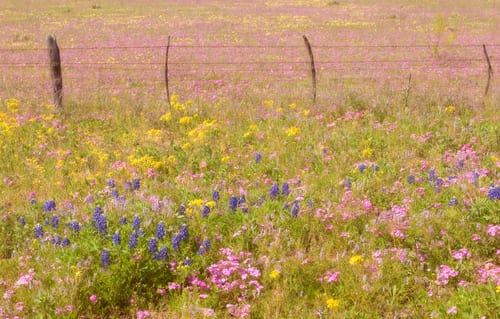 Sue-Bishop-phlox-bluebonnets-and-fence