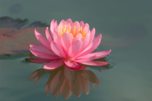 Sue-Bishop-pink-water-lily