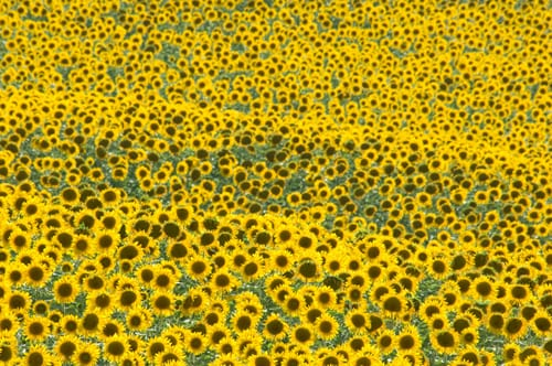 Sue-Bishop-sunflower-field