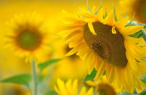Sue-Bishop-sunflowers