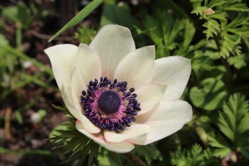 Bloom-and-Blossom---Nicola-Rotton-julias-anemone